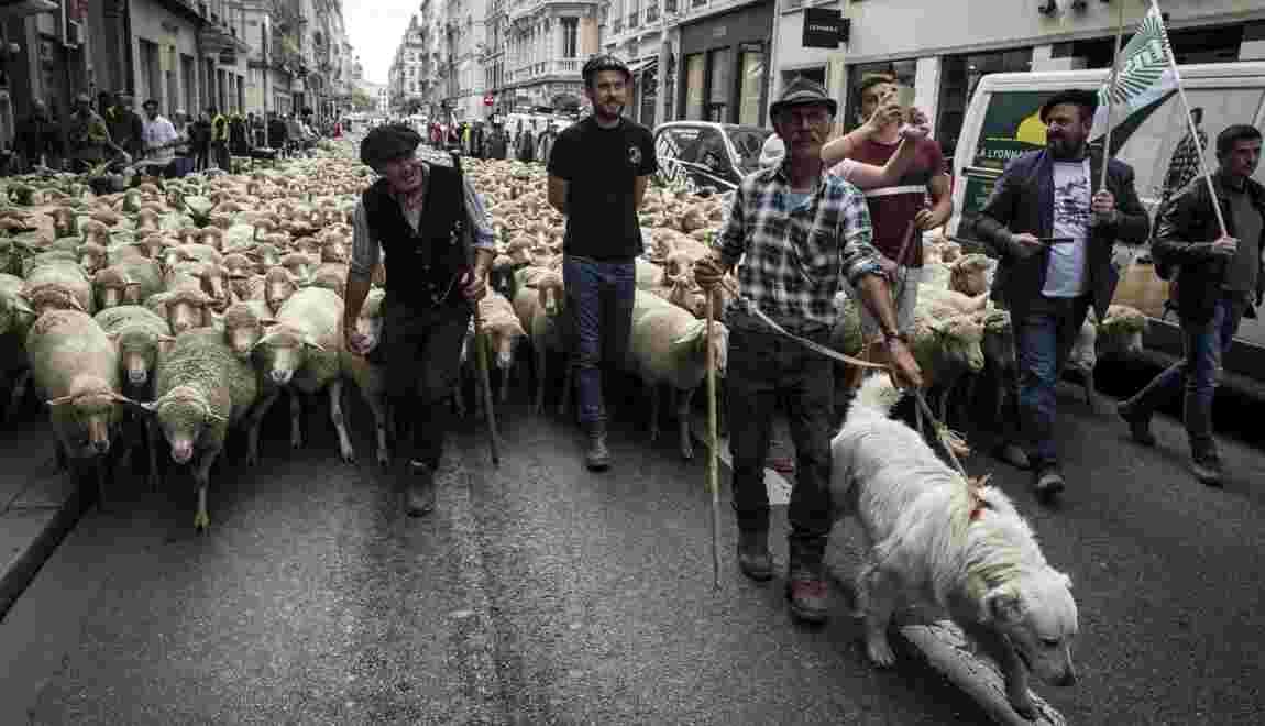 Les éleveurs français en colère contre les attaques de loup