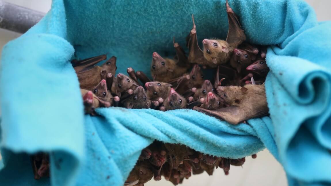 Les chauves-souris apprennent à crier avec leur colonie, pas leur mère
