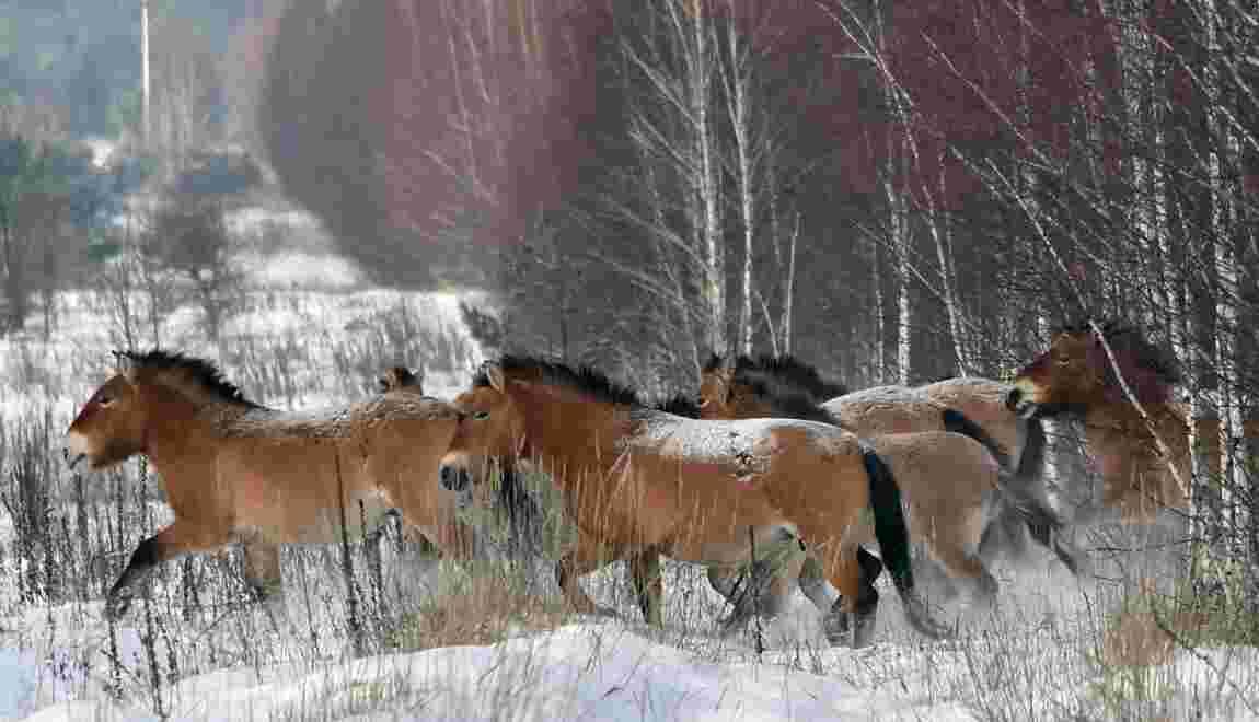 Il n'existe plus de chevaux sauvages sur Terre