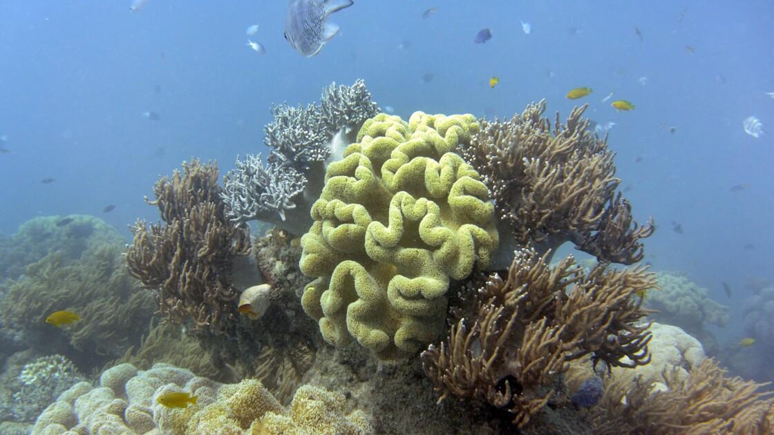 Grande barrière de corail: l'impact du blanchissement plus grave que prévu