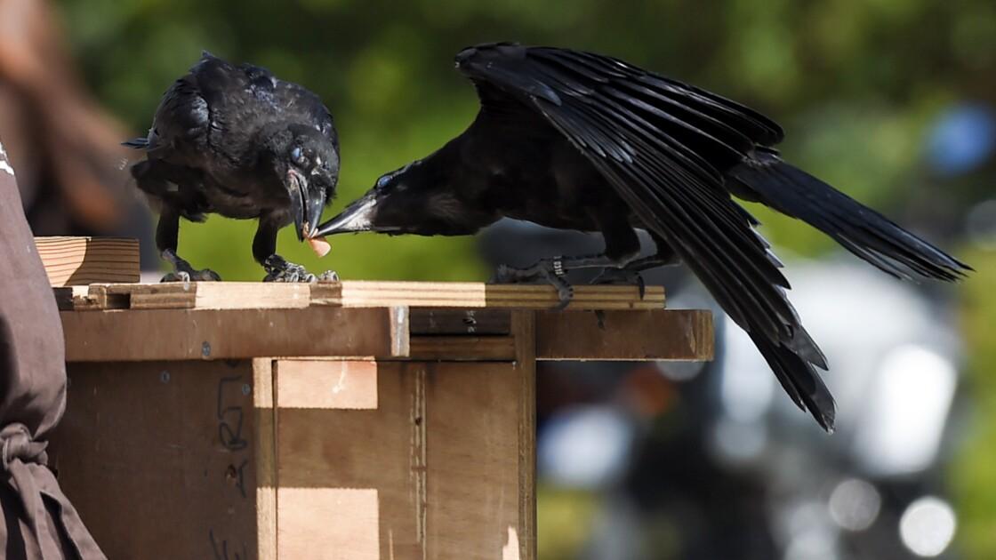 Puy du fou: des corbeaux ramasseurs de mégots entrent en action