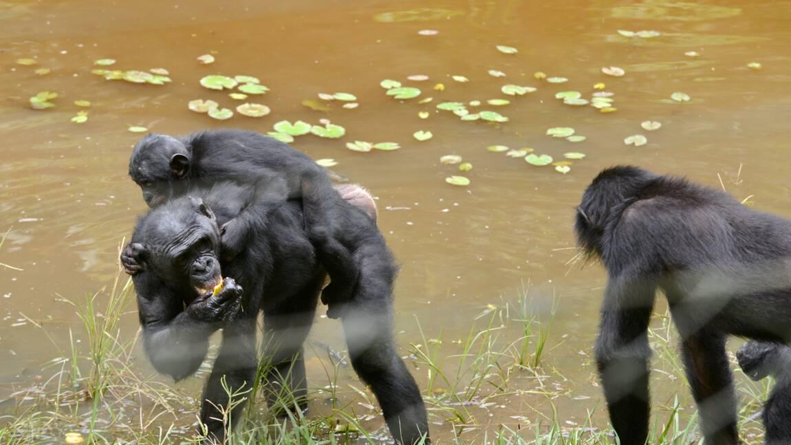 Génomes: les chimpanzés et bonobos se sont croisés dans le passé