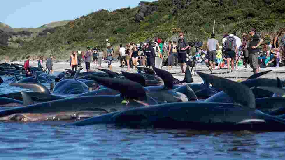 Dauphins-pilotes échouées en Nouvelle-Zélande: risque d'explosion