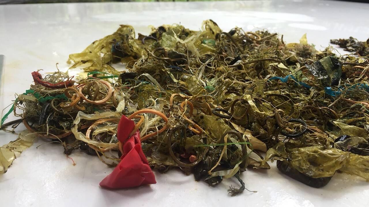 Thaïlande : une grosse tortue verte protégée, nouvelle victime du plastique