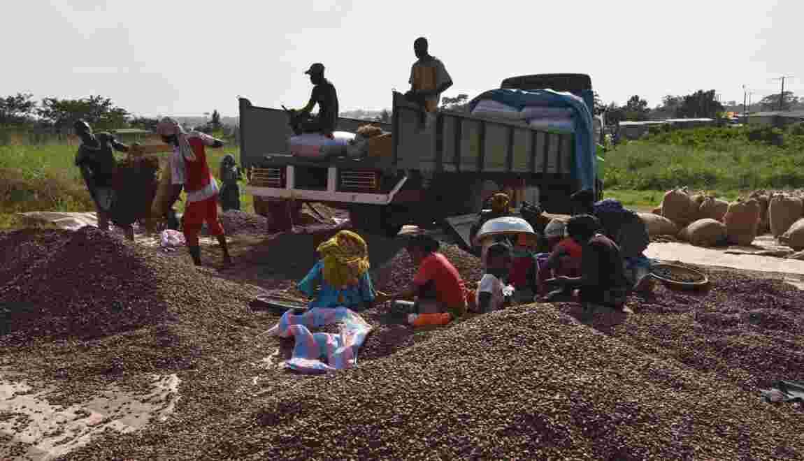Côte d'Ivoire: une ONG dénonce la déforestation due à la cacaoculture