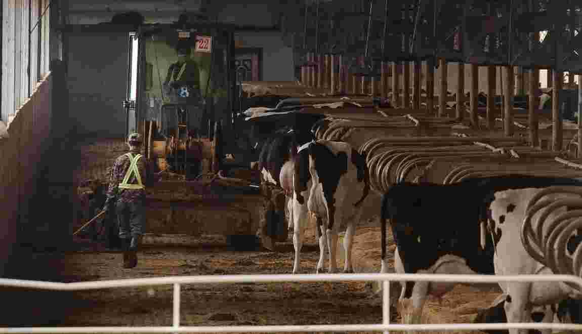 En Chine, les fermes sont déjà passées aux 10.000 vaches