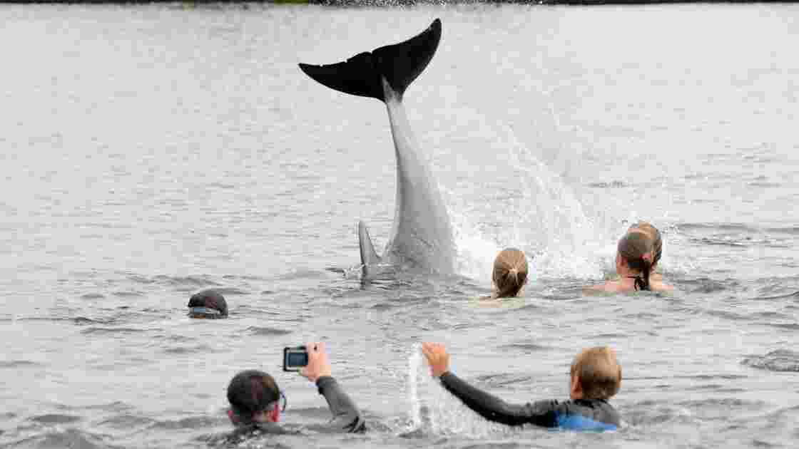 Nager avec les dauphins? Danger pour les cétacés, alertent des associations