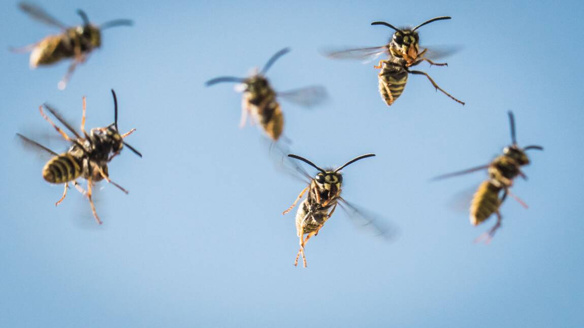 Drôme: des millions de micro-guêpes lâchées pour lutter contre la pyrale du buis