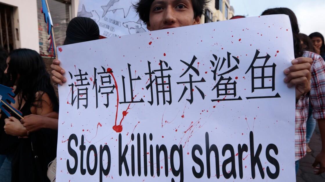 Un navire chinois intercepté dans les Galapagos transportait plus de 6.000 requins