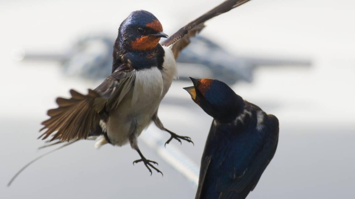 Dans la Vienne, le CHU détruit des nids d'hirondelles et la LPO porte plainte