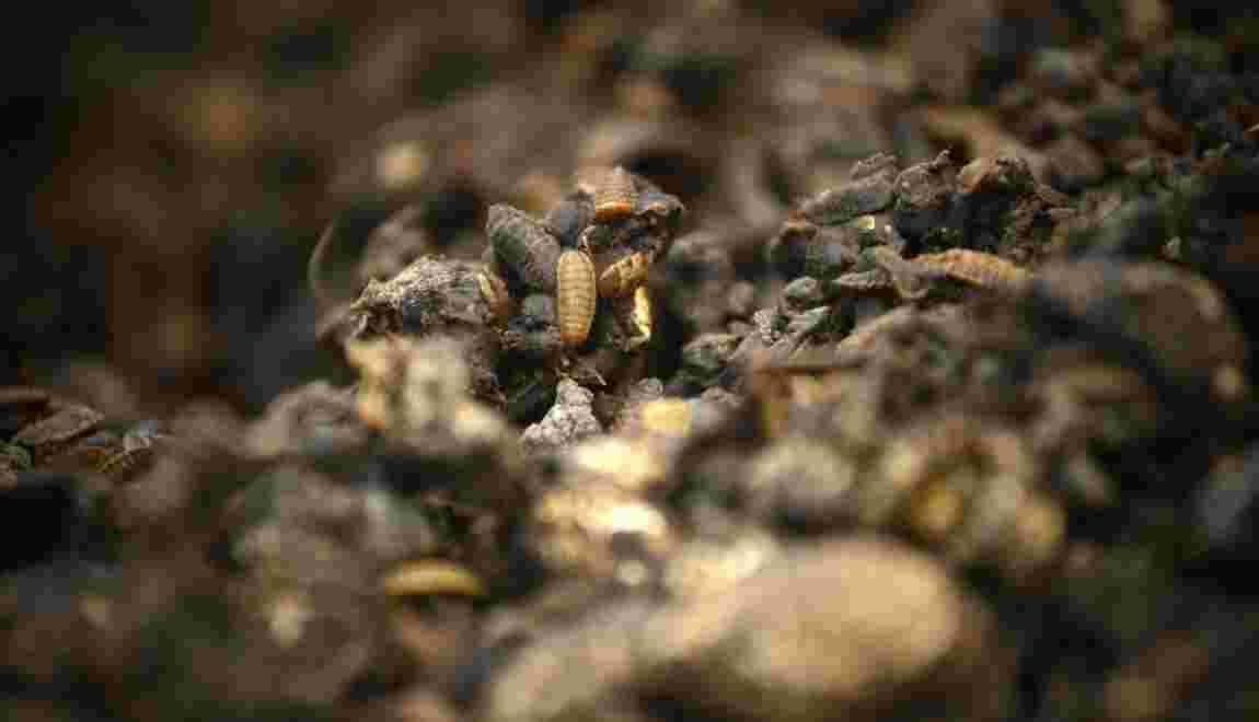 """En Chine, des """"asticots gloutons"""" contre les déchets alimentaires"""