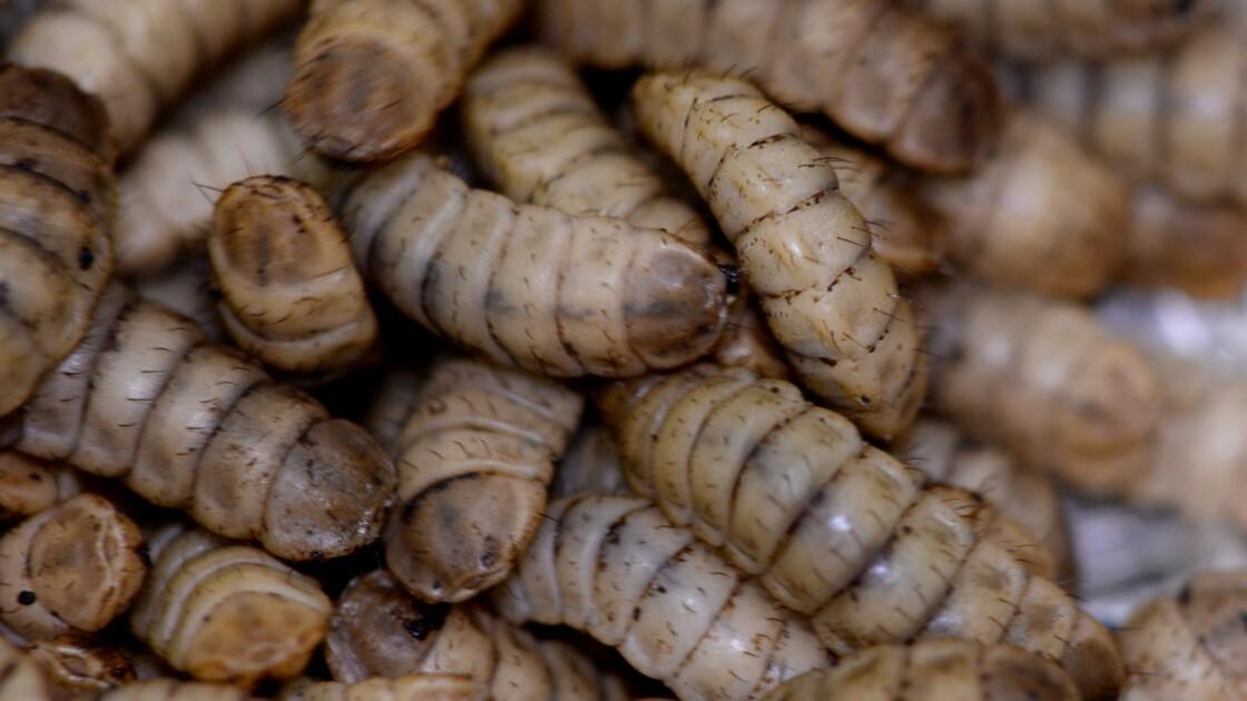 Petit à petit, les insectes font leur nid dans les rations d'élevage
