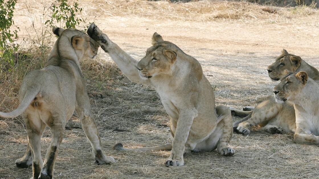 Inde : hausse du nombre de lions d'Asie, espèce menacée