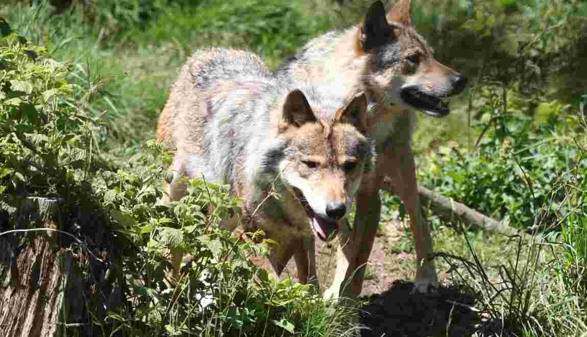 Un quatrième loup abattu dans la Drôme, le quota national épuisé