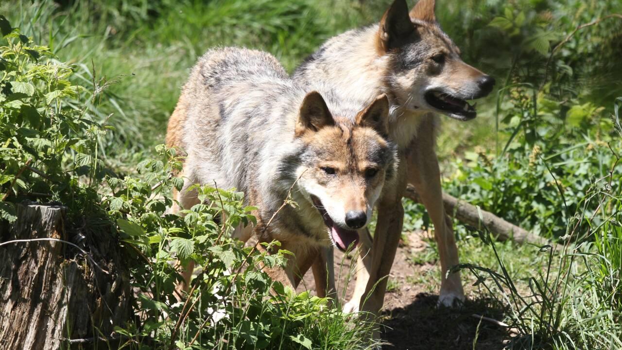 Le loup reste une espèce menacée en France pour l'UICN