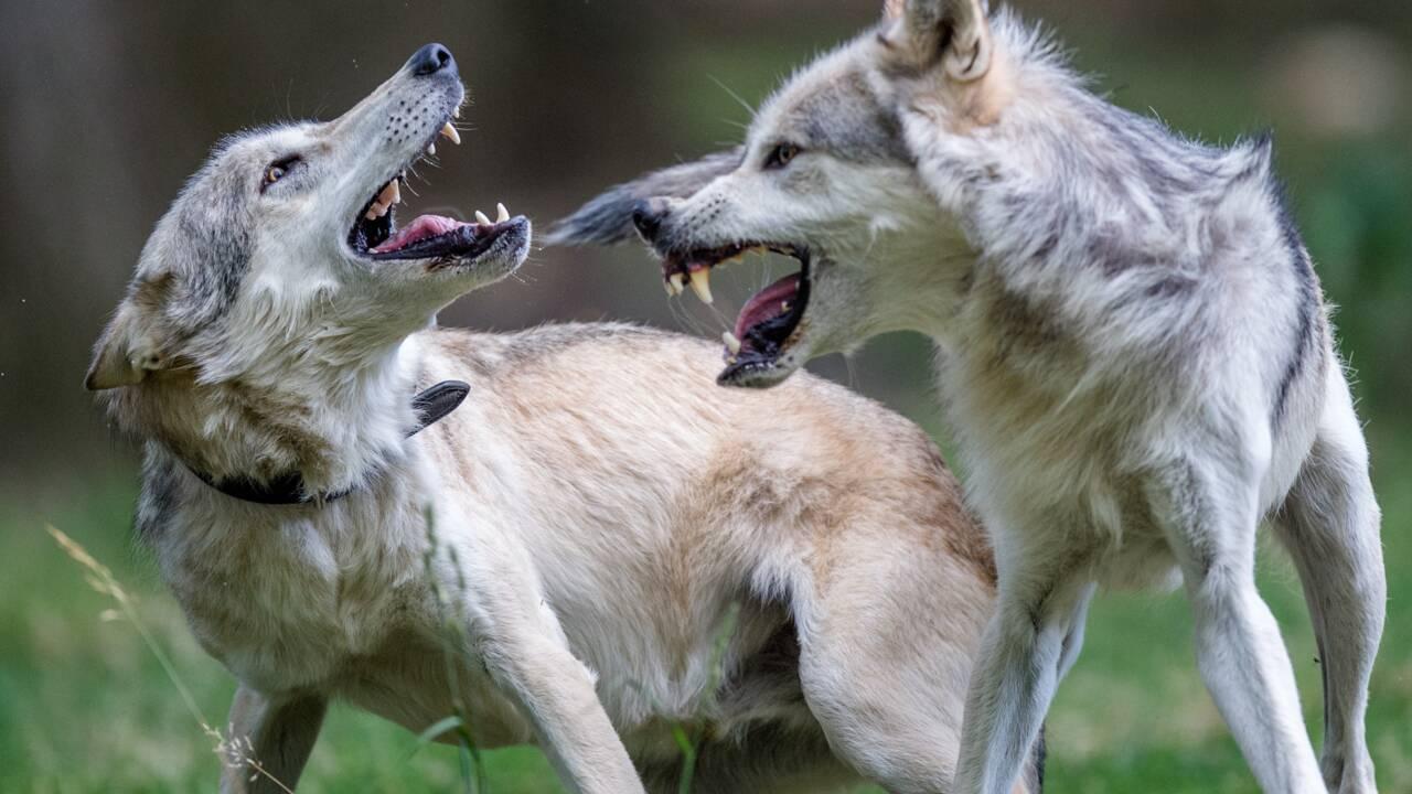 Loup: les abattages autorisés divisent les scientifiques