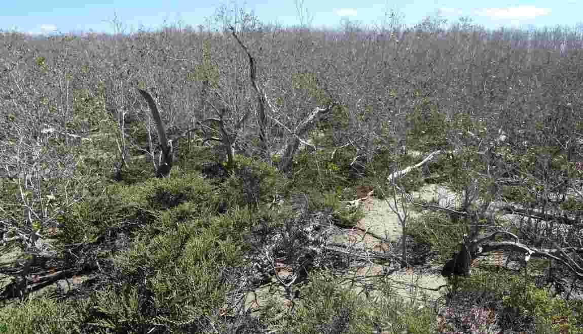"""Climat: la mangrove """"meurt de soif"""" en Australie"""