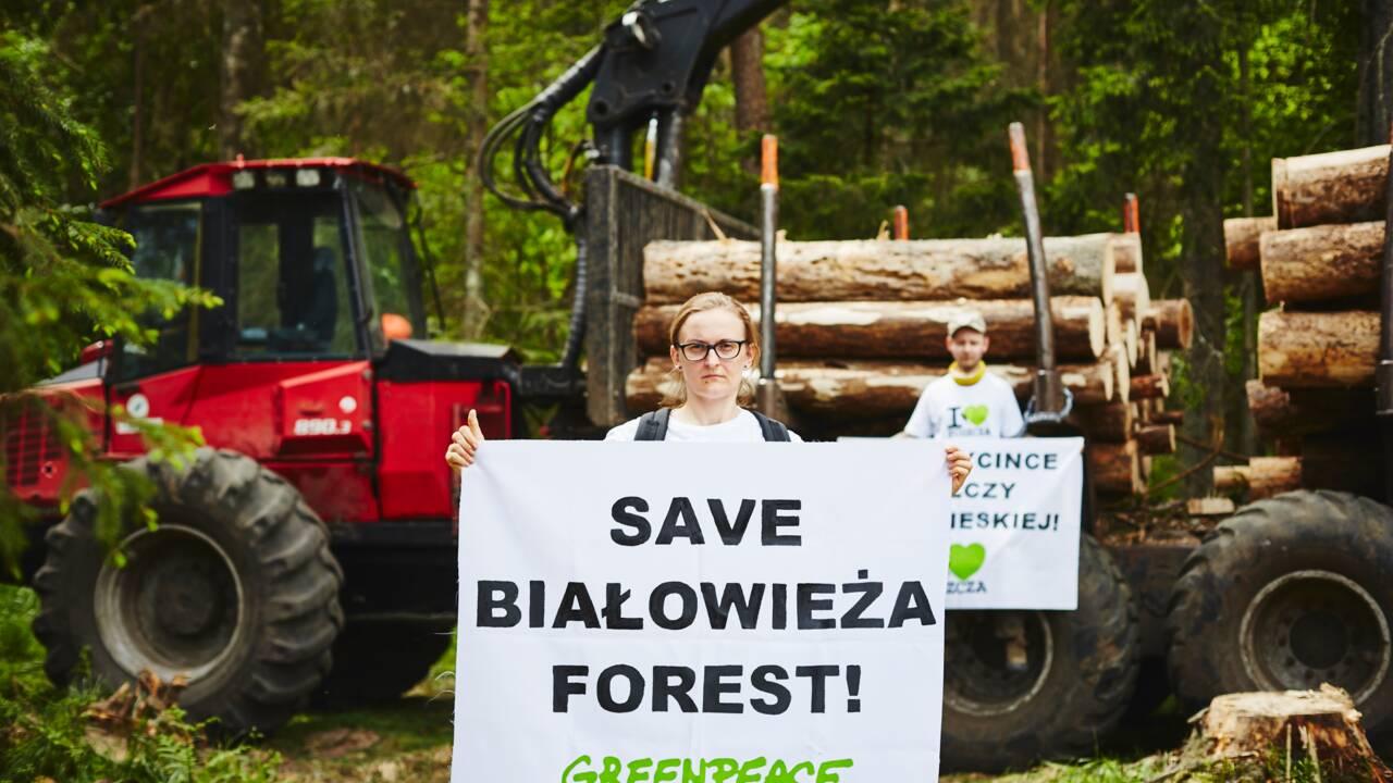 Forêt de Bialowieza : des écologistes s'enchaînent aux engins pour empêcher la coupe
