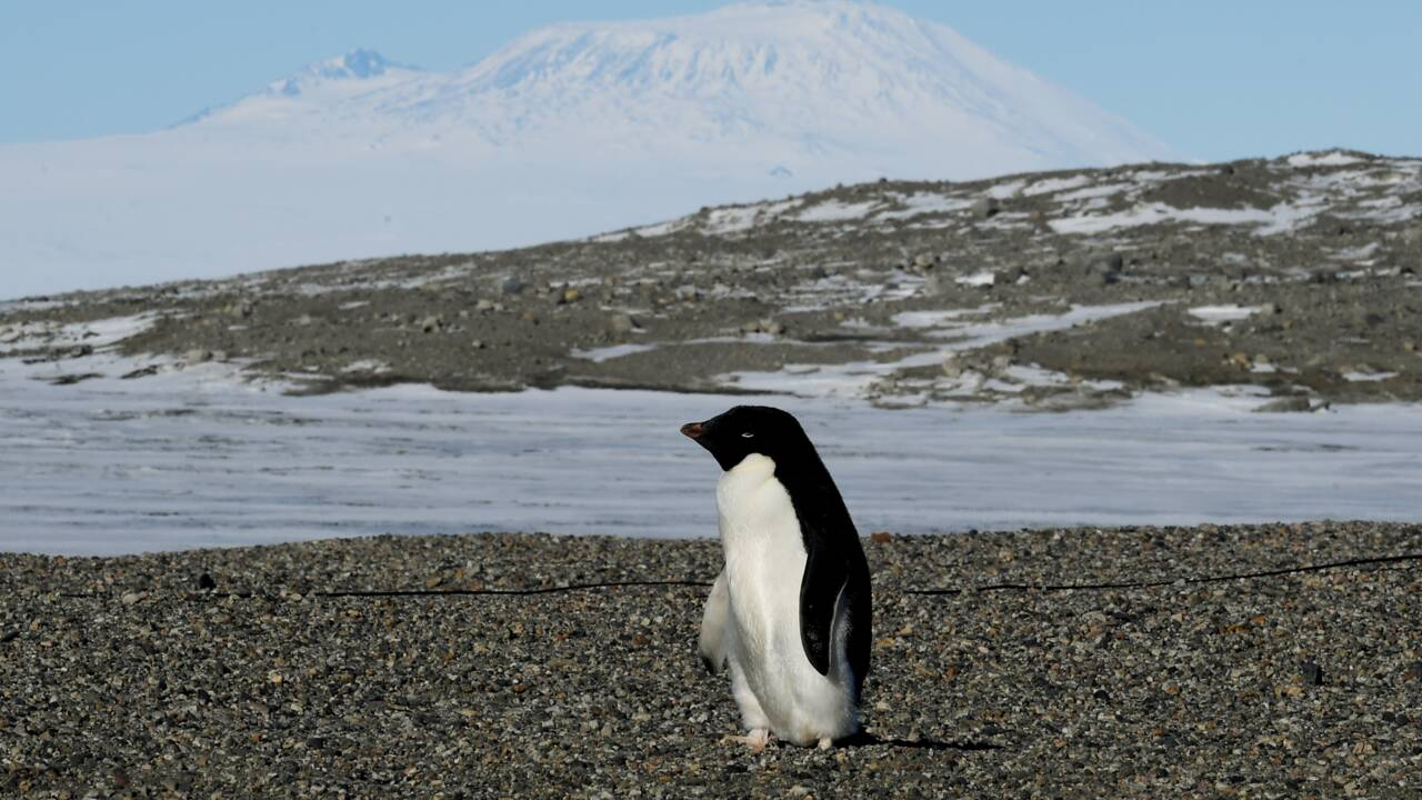 Des milliers de poussins de manchots Adélie meurent dans l'Antarctique