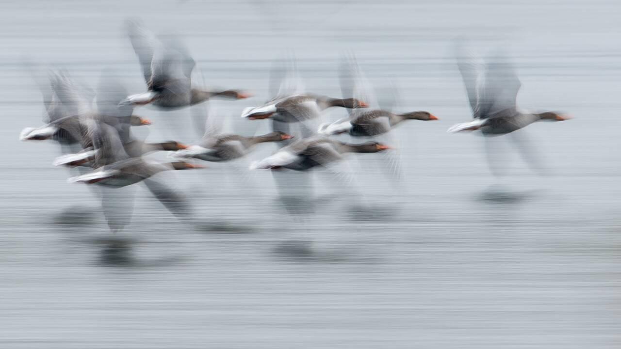 La LPO s'opposera à la chasse à l'oie cendrée en février