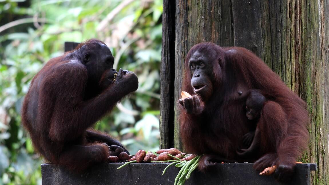 Pour sauver l'orang-outan, l'industrie doit produire une huile de palme plus durable