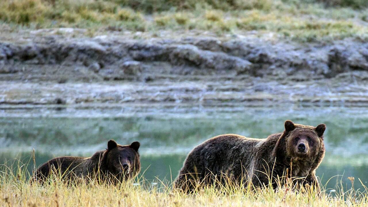 Chasse: une cour d'appel américaine sauve la peau du grizzly de Yellowstone