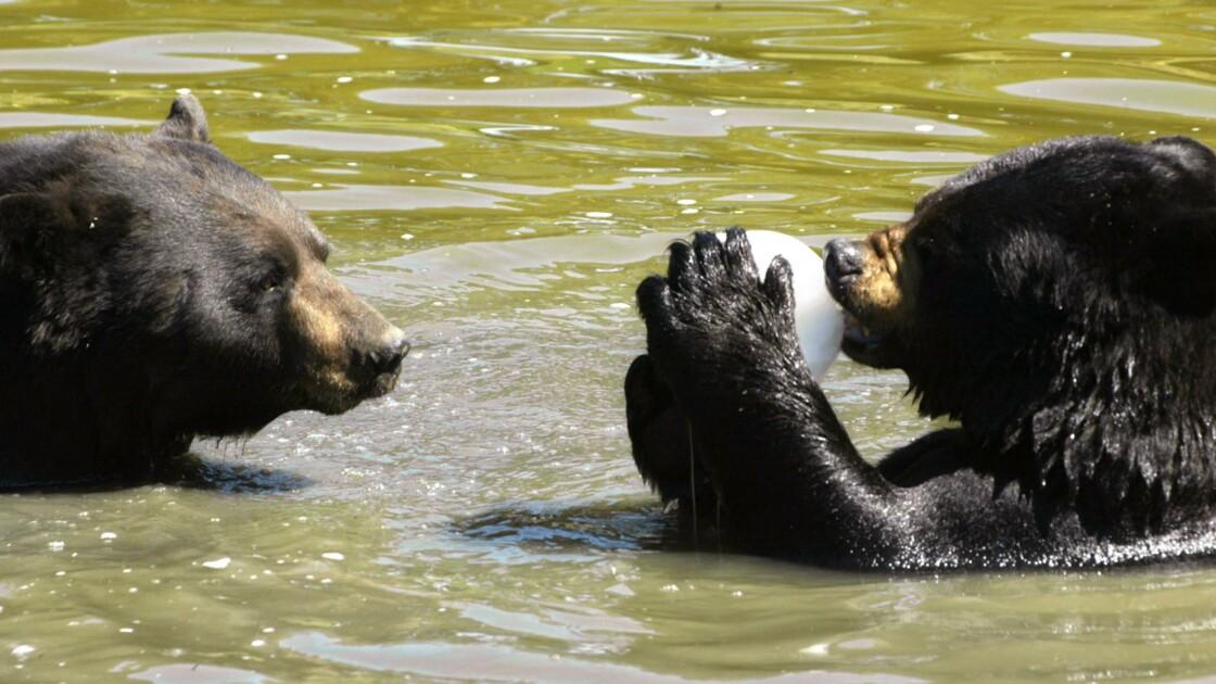 Canada: démantèlement d'un réseau de braconnage d'ours noirs