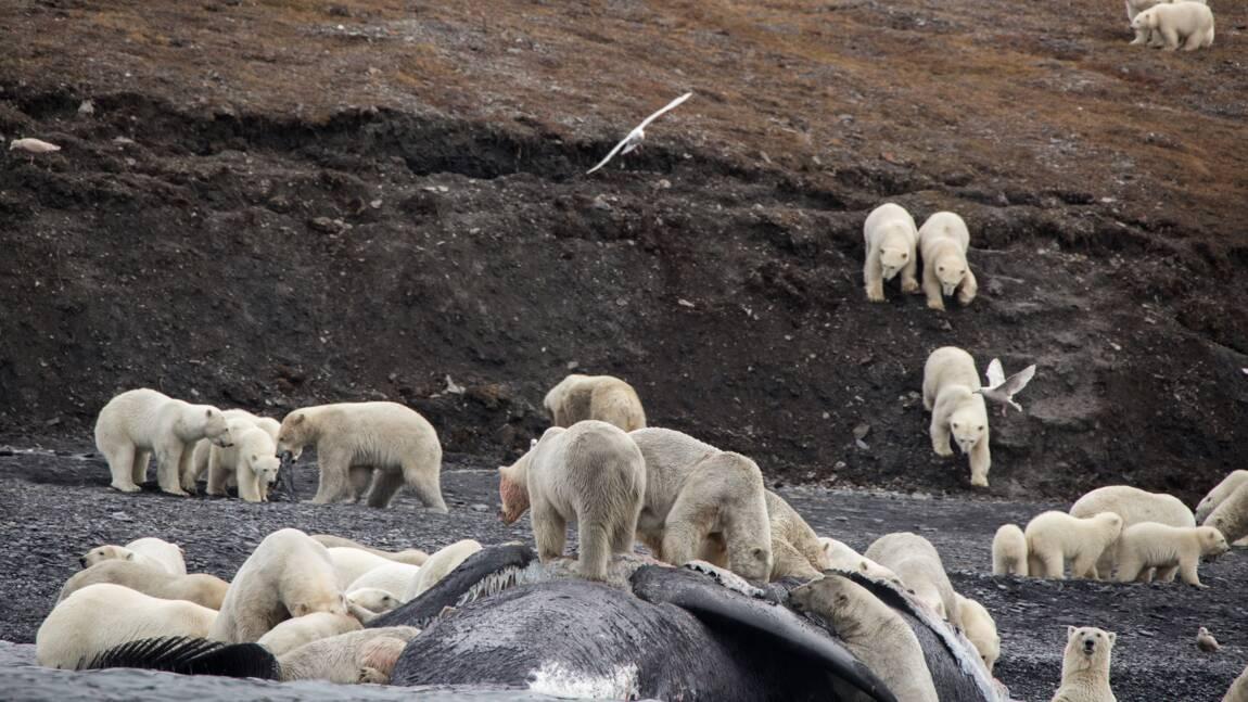 Des ours polaires massés sur une île à cause du réchauffement