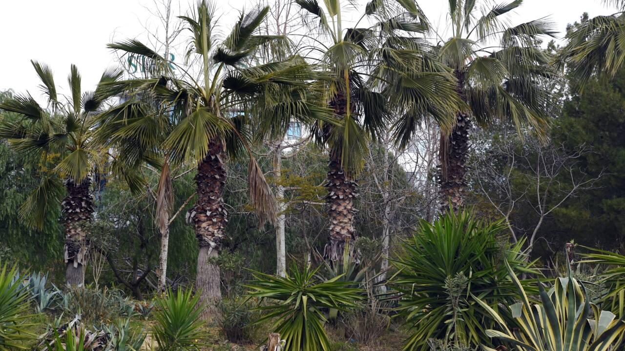 La mort des palmiers enfin prise en compte par la FAO