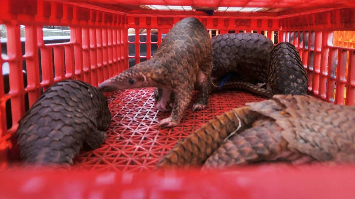 Indonésie: des milliers de pangolins décimés chaque année par le trafic