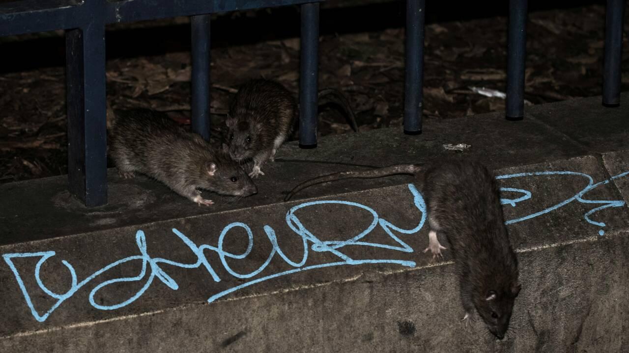 Crue à Paris : des rats plus visibles mais pas plus nombreux