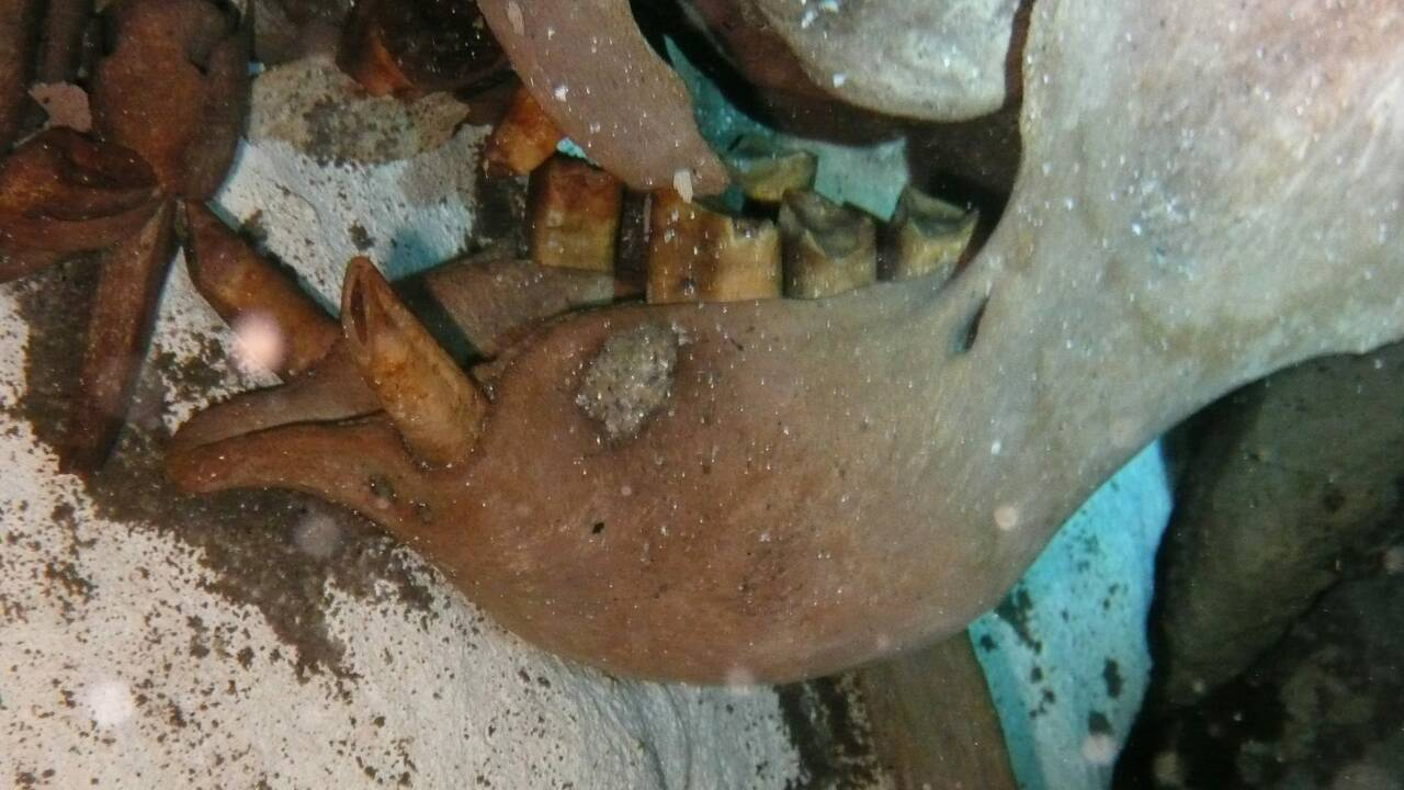 Mexique: découverte d'un paresseux géant datant du Pleistocène
