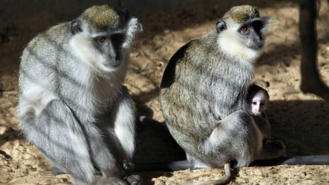 Des femelles singes incitent les mâles à aller au combat