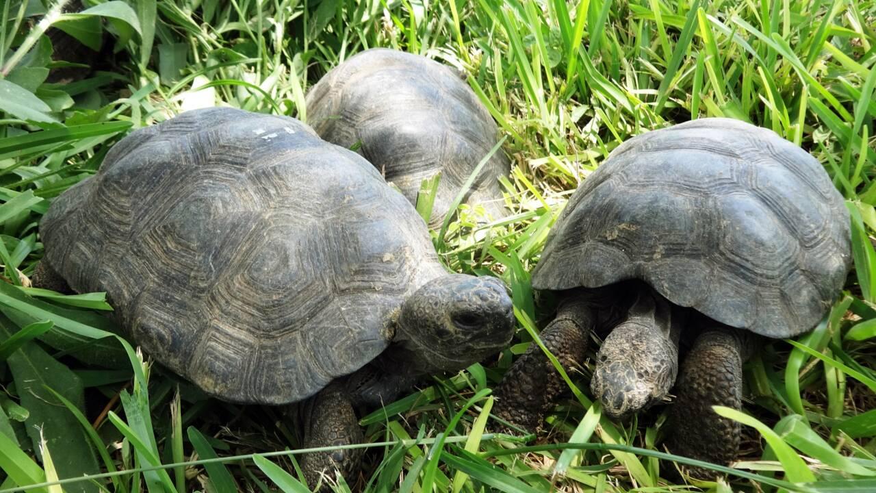 Pérou: 29 tortues des Galapagos saisies à des trafiquants