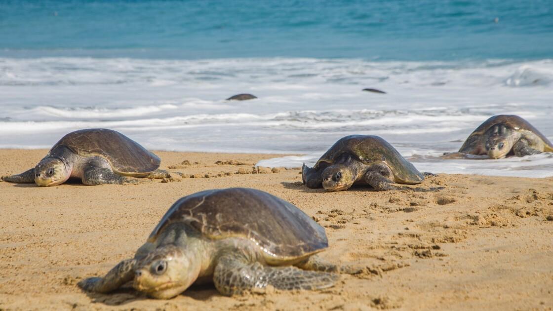 Mexique: 122 tortues marines trouvées mortes sur des plages du sud