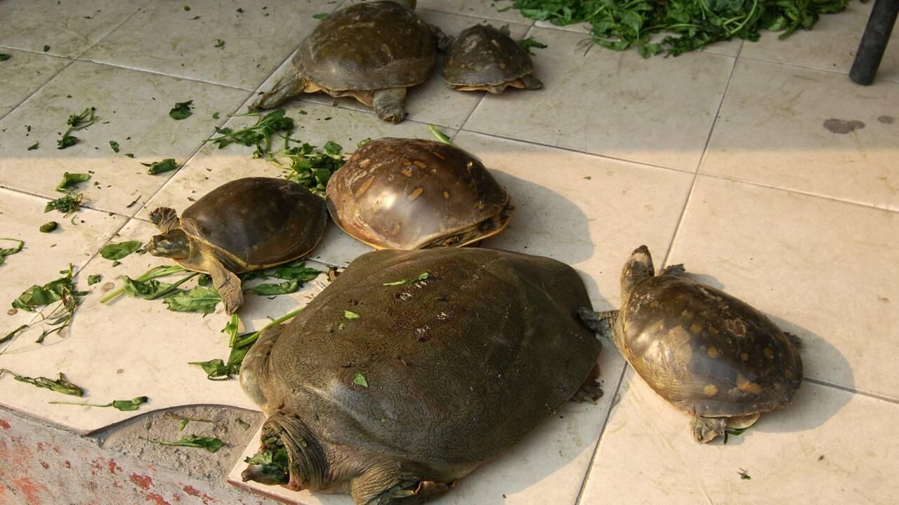 La police indienne sauve 6.000 tortues des griffes de trafiquants