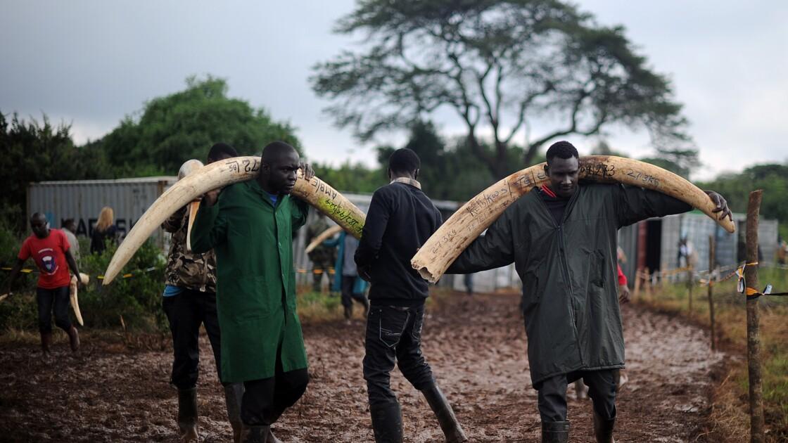 Satao II, l'un des derniers éléphants aux défenses géantes tué au Kenya