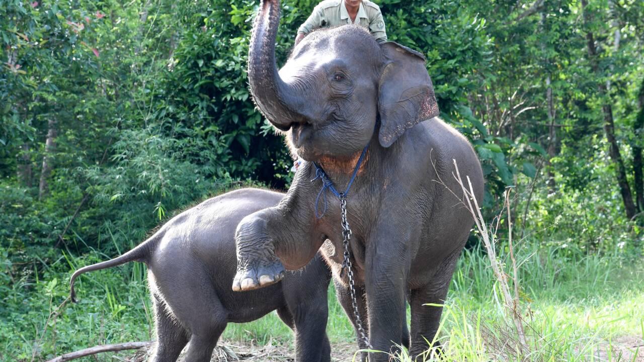 Indonésie : une éléphante de Sumatra tuée,  probablement par balles