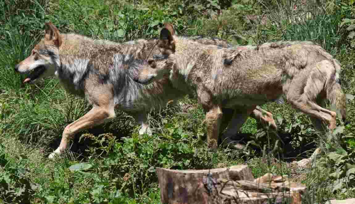 Les loups progressent toujours en France