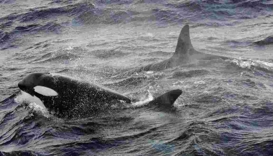 Russie: la chasse à outrance aux orques et bélougas inquiète les scientifiques