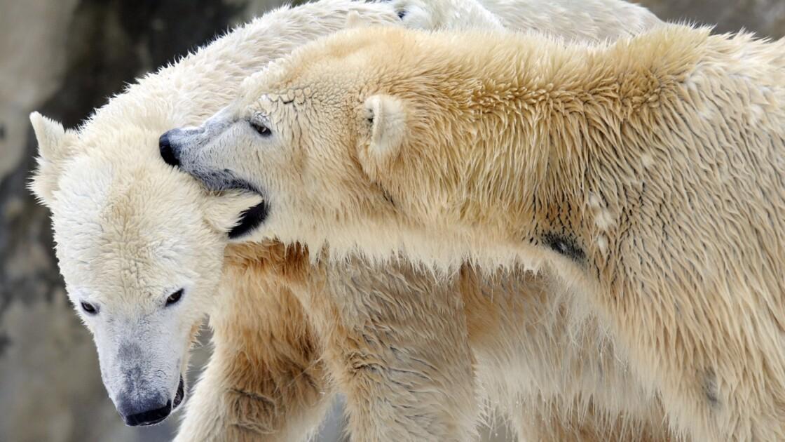 L'ours polaire ne trouve plus assez de phoques pour se rassasier (étude)