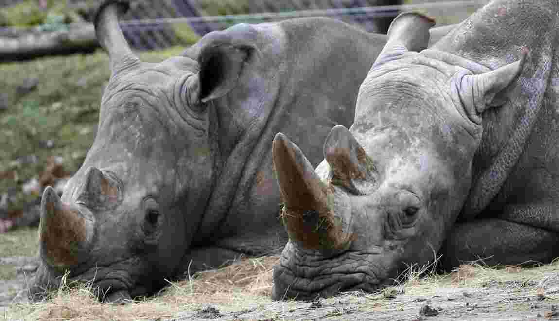 Après le vol de Thoiry, un parc en Ardèche envisage d'écorner ses rhinocéros