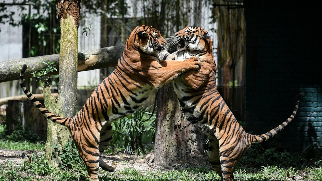 Malaisie: six Vietnamiens arrêtés pour braconnage de tigres de Malaisie