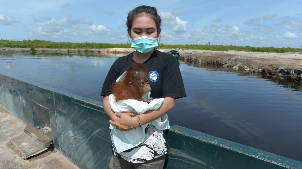 Indonésie: un bébé orang-outan vivant dans une famille récupéré