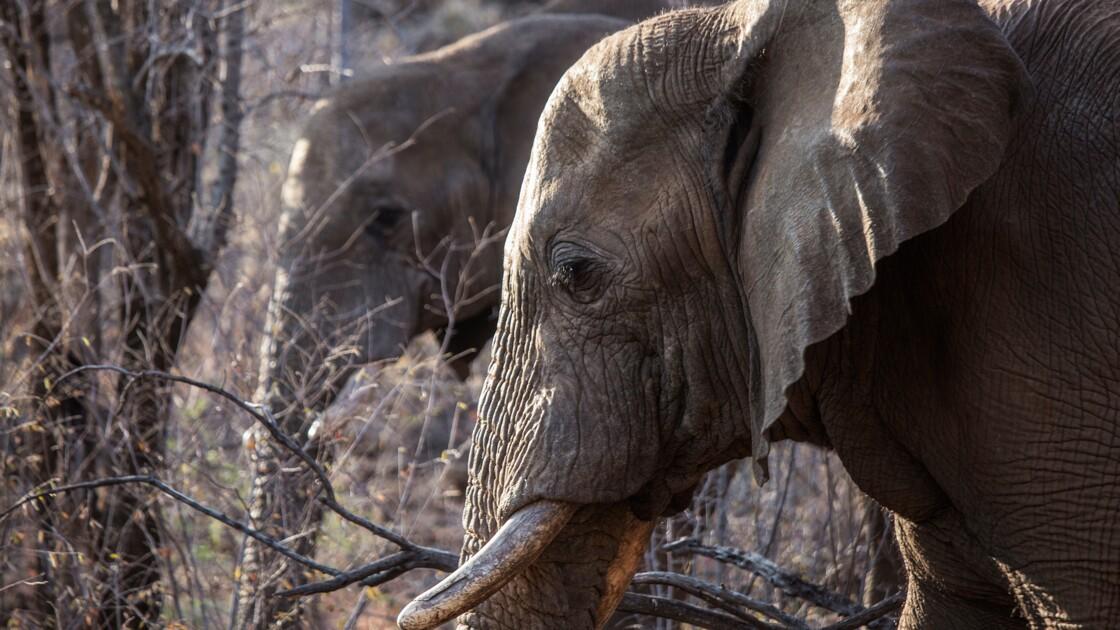 Pourquoi Washington réautorise l'importation de trophées d'éléphants