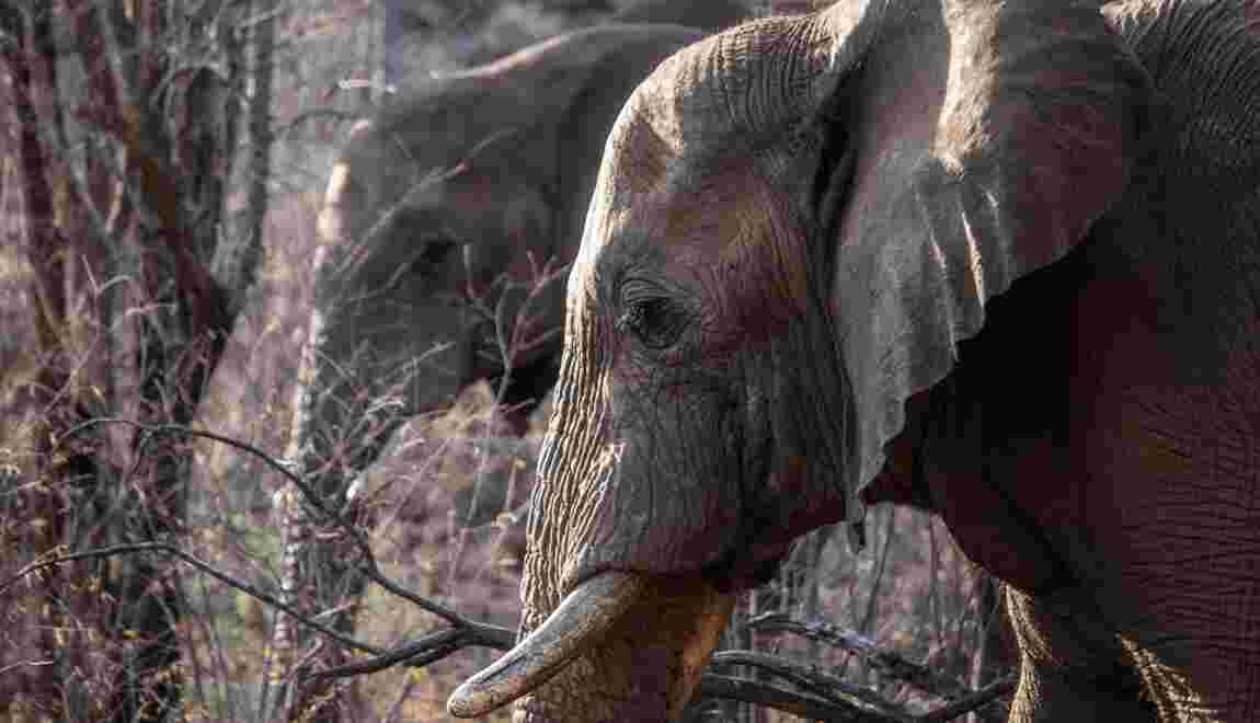 Les éléphants, ces grands insomniaques