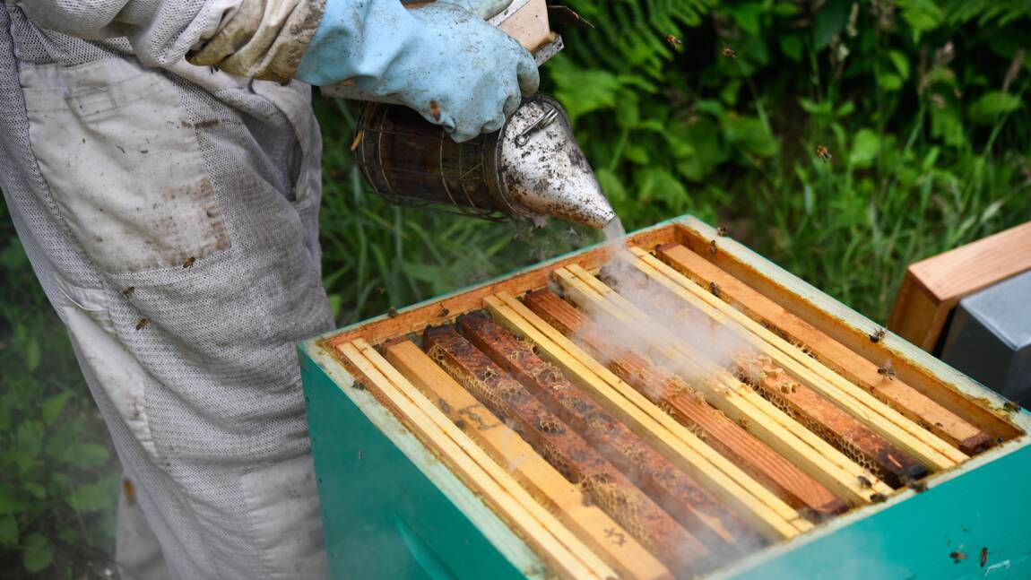 Abeilles : après l'hécatombe, des apiculteurs au combat pour sauver leurs ruches