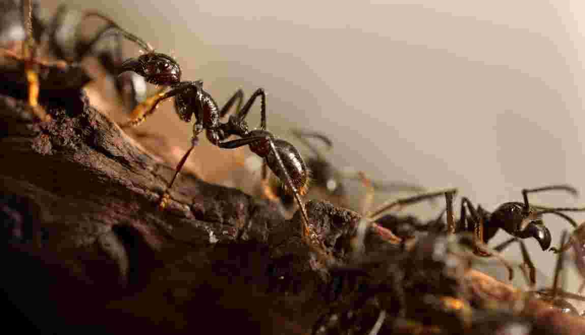 Certaines fourmis viennent au secours de leurs blessés