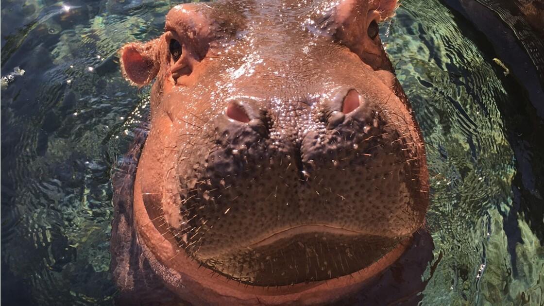 L'hippo star des réseaux sociaux fête son 1er anniversaire