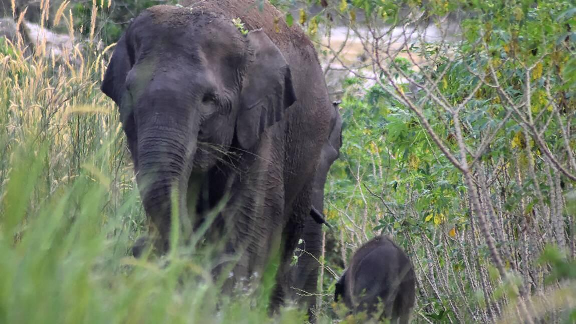 Naissance d'un éléphanteau de Sumatra dans une forêt protégée d'Indonésie